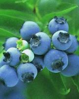 Sell blueberry anthocyanin