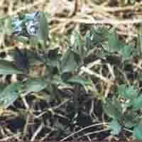 Usnea Longissima P.E.
