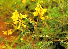 Astragalus Polysacharide